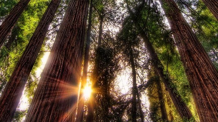 Raios de sol penetram através da densa floresta de sequoias de folhagem exuberante.